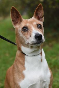 自然に古い大人の赤いバセンジー犬の肖像画