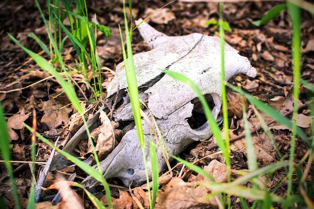 自然の背景に古い動物の頭蓋骨死んだ野生動物 Premium写真