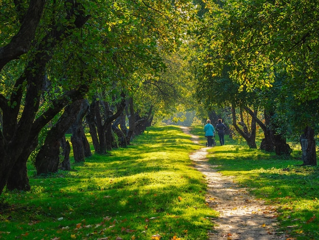 An old apple orchard, trees in a row on a green lawn. people walk along the path between the trees. moscow.