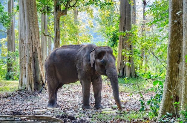 タイの野生の森の古いアジアの象