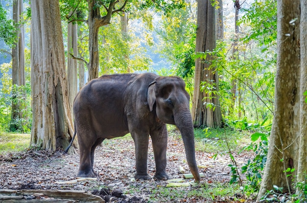 Old asian elephant in thailand wild forest