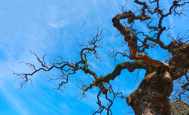 Старое голое дерево с фантастическими изогнутыми ветвями на фоне голубого неба с легкими облаками. воющее дерево