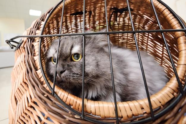 Старый красивый кот сидя в животной корзине на фоне ветеринарной клиники.
