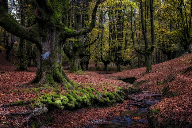 Old beech forest in autunm