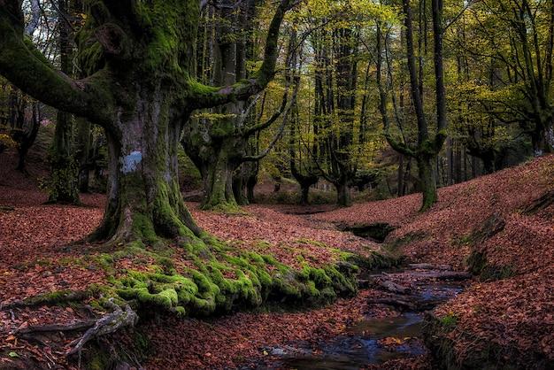 Autunm에있는 오래 된 너도 밤나무 숲