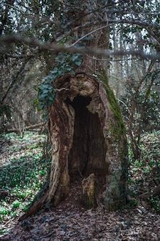 An old beech tree with a huge hollow surrounded by the first flowers of snowdrops. mysterious forest landscape.