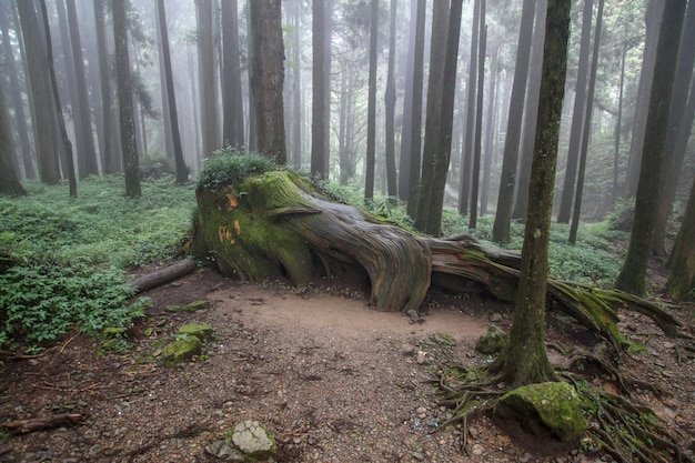 Old big tree at alishan national park area in taiwan.