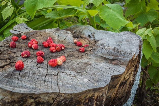 Old big tree stump with berries wild strawberries among grape le