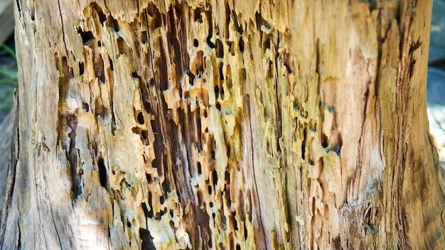 해충이 먹는 오래된 자작나무 그루터기. 소치