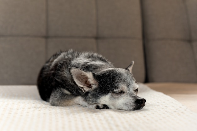 Old black chihuahua dog tried sleeping on couch at home.