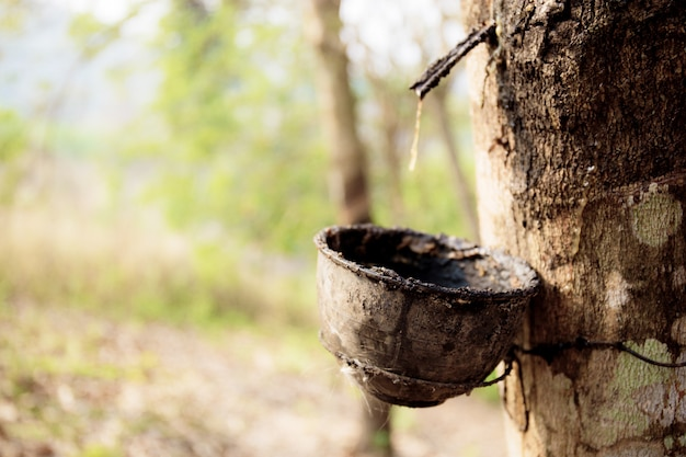 Old bowl of dry on rubber tree.