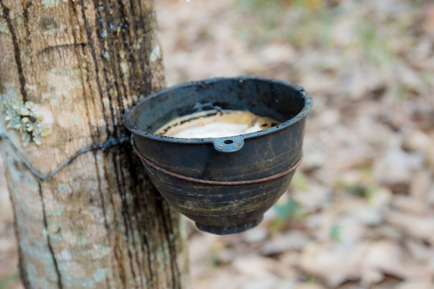Old bowl on rubber tree.