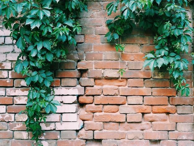 Старая кирпичная стена с висящими ветвями листьев фоновой текстуры