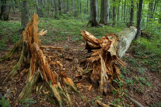 Старое сломанное дерево лежит на земле с гниющим деревом вокруг