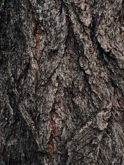 Old brown cracked wood bark. tree trunk. natural pattern. surface of poplar tree bark. nature decor for presentation of natural cosmetics or perfume. abstract dark nature background. soft focus. Premium Photo
