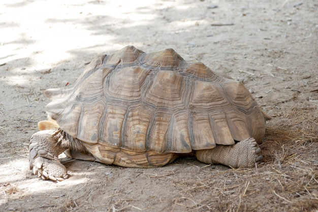 Old brown tortoise in the zoo