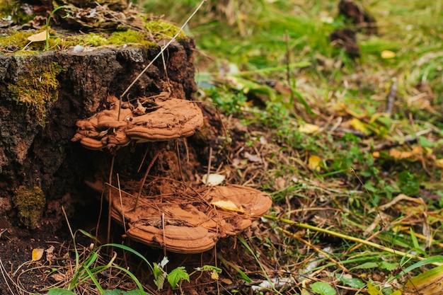 Old brown wood mushrooms on stump.