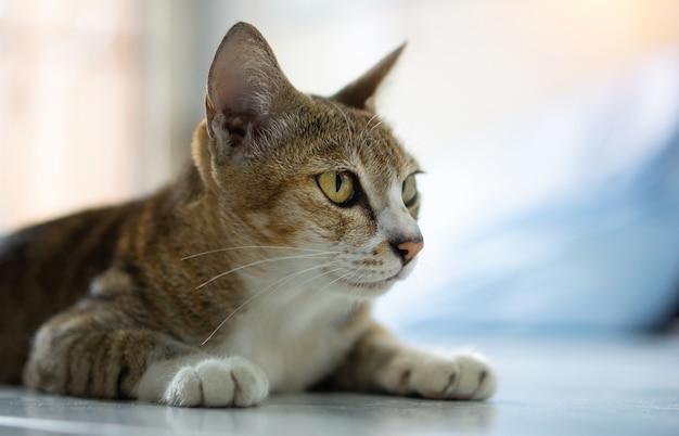 늙은 고양이, 진짜 태국 품종이 집에 앉아 있습니다.