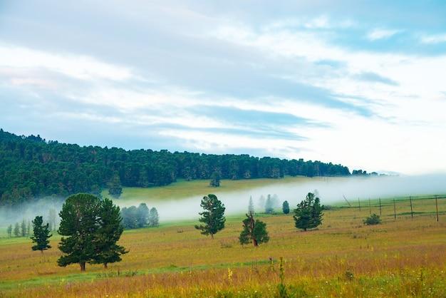 古い杉。草原の針葉樹と霧の山の風景。草の中の小さなピンクの花。