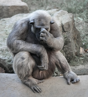 Old chimpanzee sits deep in thoughts with a palm on its face