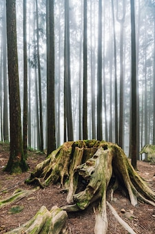 Old cut tree with roots in japanese cedar forest with fog in alishan national forest recreation area.