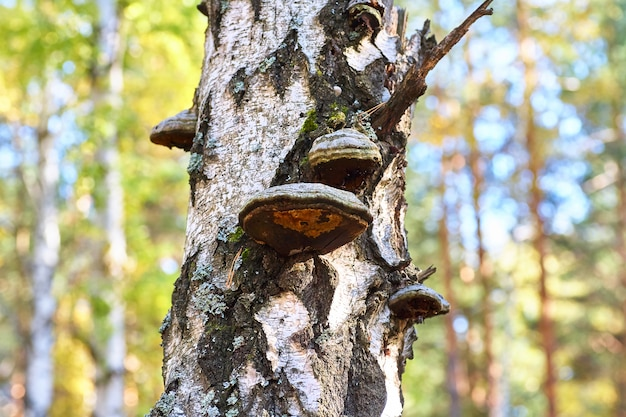 Old dead birch in the forest with a mushroom growing.