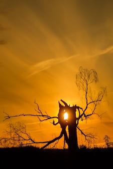 太陽と夕日の古い死んだ白樺。