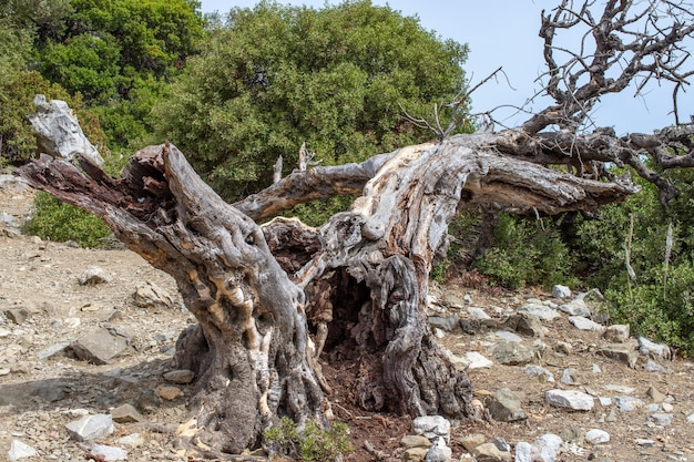 오래 된 죽은 올리브 나무 전경에서 오래 된 죽은 올리브 나무. 특이한 모양의 불길한 오래된 죽은 나무