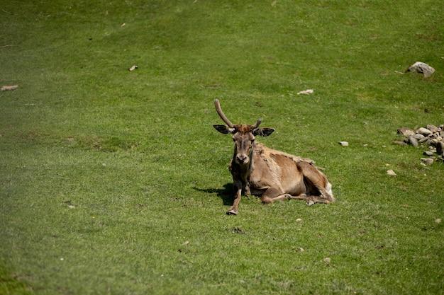 Старый олень лежит на траве в солнечный день.