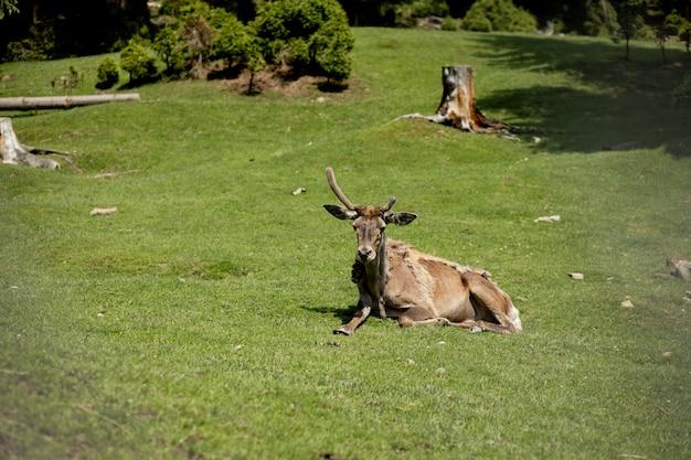 Старый олень лежит на траве в солнечный день