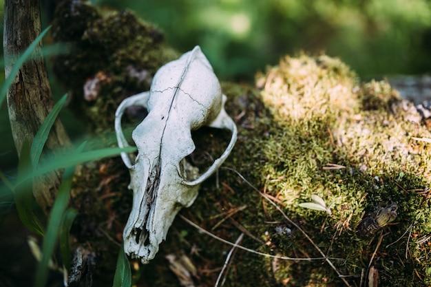Старый собачий череп и в заколдованном лесу темная таинственная атмосфера