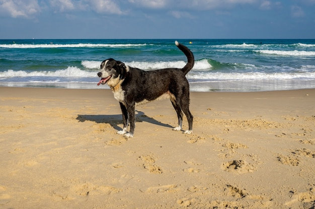 Old dog standing on the beach sand with a beautiful ocean and a cloudy blue sky in the background