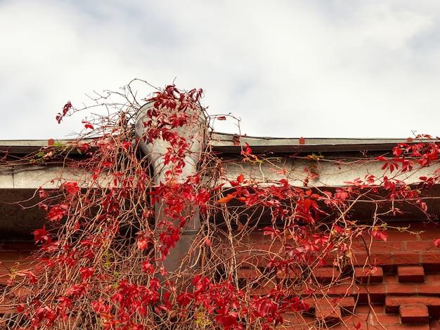 Старая водосточная труба на крыше дома с красными листьями дикого винограда.