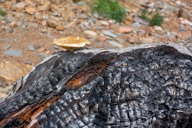 Старый сухой толстый сгоревший ствол дерева с грибами. горизонтальное изображение.