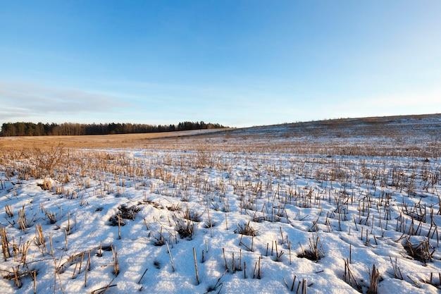 雪に覆われた古い乾燥した植生。冬季に撮影した写真、クローズアップ