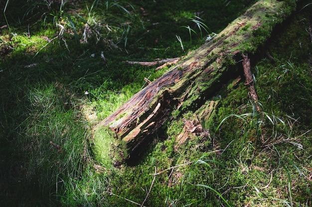 이끼, 버려진 흔적, 야생 카르파티아 산맥 환경이 무성한 야생 숲에 있는 오래된 나무