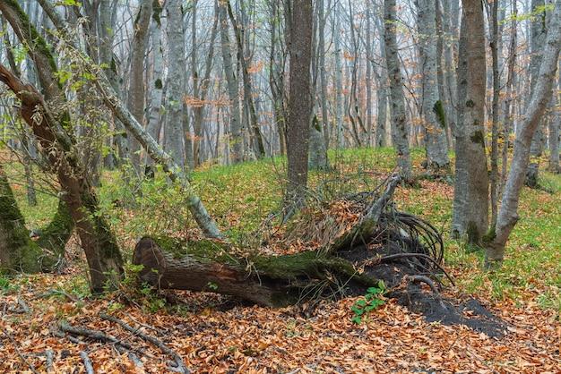 안개가 자욱한 노란 가을 숲에 오래 된 타락한 나무