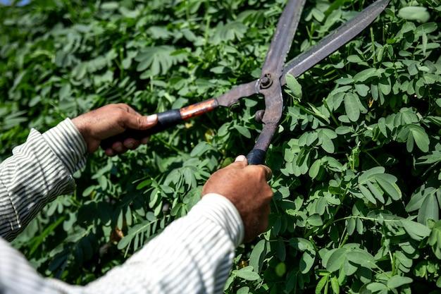 Il vecchio giardiniere taglia il cespuglio con grandi cesoie da potatura in metallo
