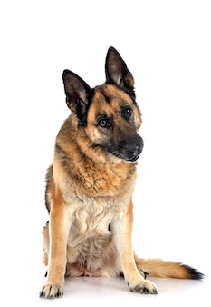 Old german shepherd in front of white background
