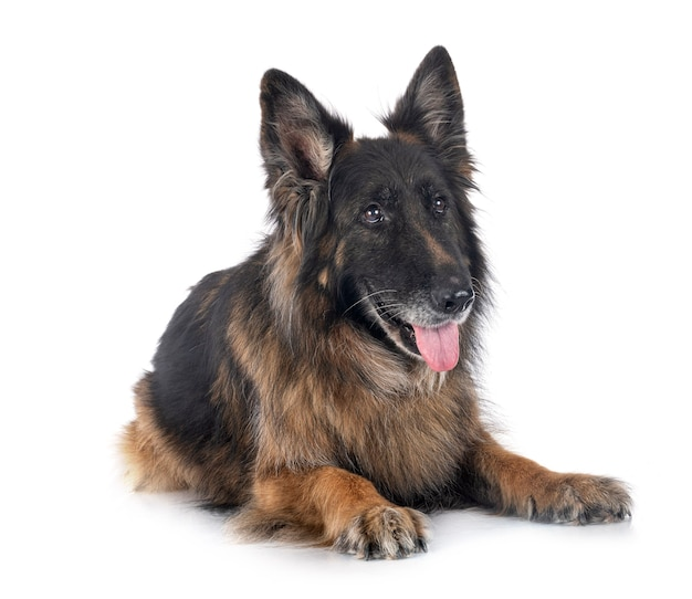 Old german shepherd in front of white surface