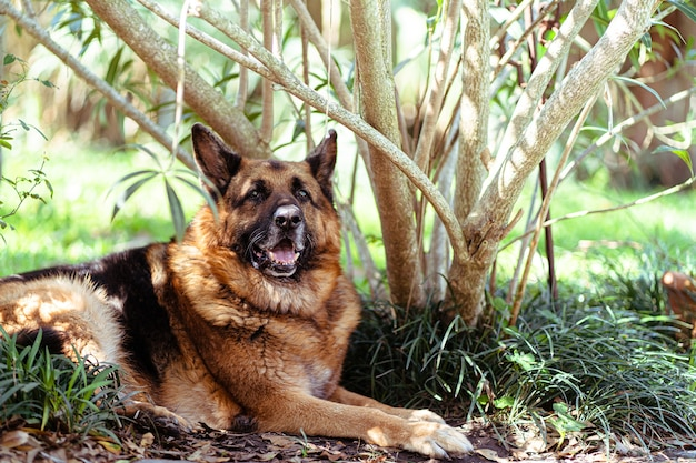 Old german shepherd laying next to a tree in a garden on a sunny day