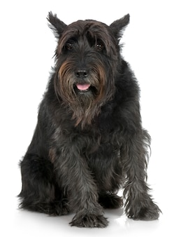 Old giant schnauzer with 7years. dog portrait isolated