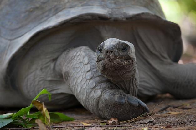 오래 된 거 대 한 거북이 초상화. 고품질 사진