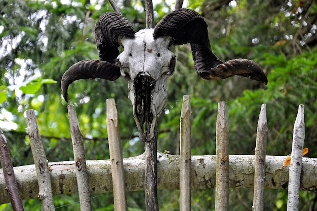 Old goat skull with horns on old wooden wall
