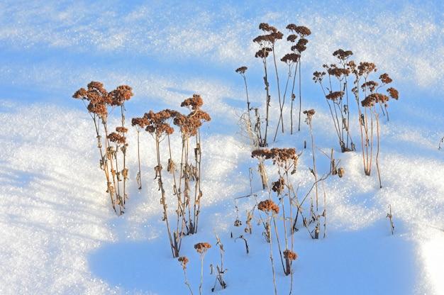 화창한 날씨에 눈 속에서 오래 된 잔디입니다. 프리미엄 사진