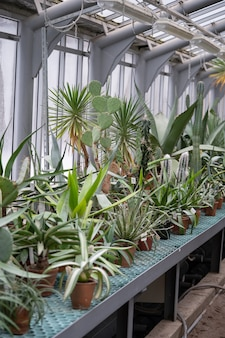 Old greenhouse or glasshouse with various cacti, long stem and leafy succulents and exotic plants.