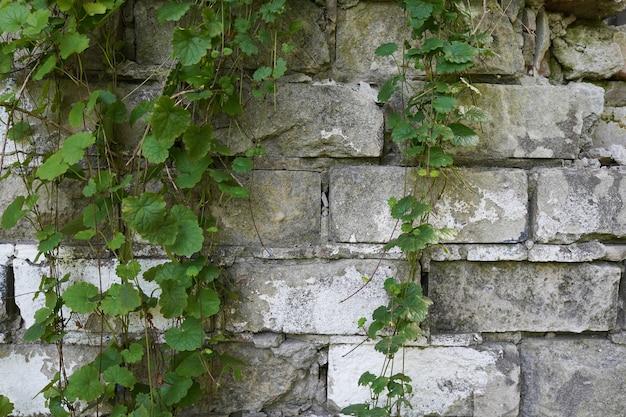 오래된 회색 벽돌 벽과 그 위에 매달려 있는 야생 포도