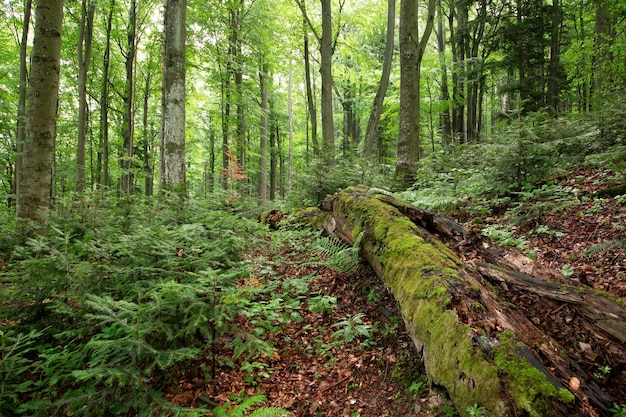 Old-growth forest with rotting trunk covered with green moss and young trees growing around.