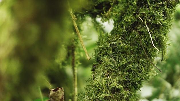 Старые тропические леса умеренного пояса, грузинские джунгли - деревья во мхе