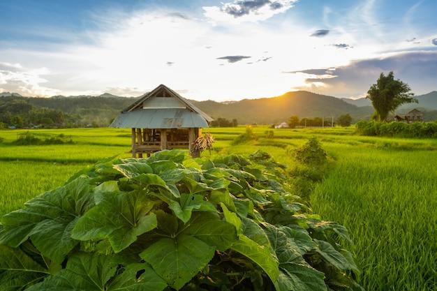 タイの夕焼け空の緑の農地の真ん中にある古い小屋